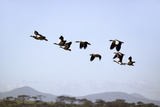 Egyptian Geese Fly in Formation Above Lake Naivasha, Great Rift Valley, Kenya, Africa Photographic Print