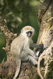 Vervit Monkey Sitting in Tree Outside of Lewa Wildlife Conservancy, North Kenya, Africa Photographic Print