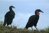 Ground Horn Bill Birds with Red Neck in Masai Mara Near Little Governor's Camp in Kenya, Africa Photographic Print