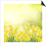 Spring Growing Daffodils in Garden Affiches par  neirfy