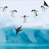 Penguins Jumping into Water Poster by Tim Davis
