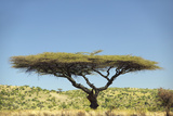 Acacia Tree in Lewa Conservancy, Kenya, Africa Photographic Print