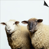 Sheep Standing Side by Side Prints by Adrian Burke