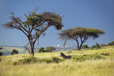 Endangered Grevy's Zebra and Acacia Tree in Foreground in Front of Mount Kenya in Kenya, Africa Photographic Print