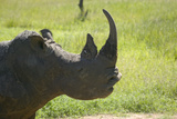 Closeup of Endangered White Rhino at Lewa Wildlife Conservancy, North Kenya, Africa Photographic Print