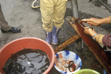 Preparing Eels in Bei Marketplace in Dali, Yunnan Province, People's Republic of China Fotografie-Druck