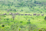 Herd of Elephants in the Brush in Umfolozi Game Reserve, South Africa, Established in 1897 Photographic Print