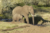 African Elephants Drinking Water at Pond in Afternoon Light at Lewa Conservancy, Kenya, Africa Photographic Print