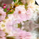 Cherry Blossoms with Reflection on Water Poster by  Smileus