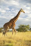 Giraffe in Sunset Light at Lewa Conservancy, Kenya, Africa Photographic Print