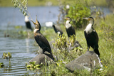 Cormorant at Lake Naivasha, Great Rift Valley, Kenya, Africa Photographic Print