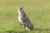 Cheetah Stalking Through High Grasslands of Masai Mara Near Little Governor's Camp in Kenya, Africa Photographic Print