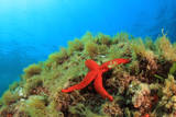 Starfish Underwater on Reef Photographic Print by Rich Carey