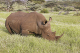 Black Rhino in Lewa Conservancy, Kenya, Africa Grazing on Grass Photographic Print