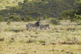 Endangered Grevy's Zebra and Impala in Lewa Conservancy, Kenya, Africa Photographic Print