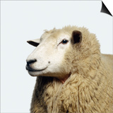Wooly Sheep Poster by Adrian Burke