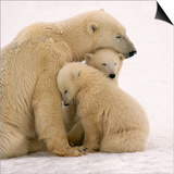 Polar Bear Mother and Cubs Cuddling Print by Kennan Ward