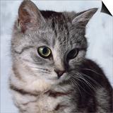 Grey Tabby Kitten Print by Robert Dowling