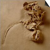 Fossil of Velociraptor Attack Print by Louie Psihoyos