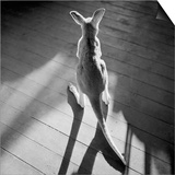 Young Kangaroo and Shadows Prints by Horace Bristol