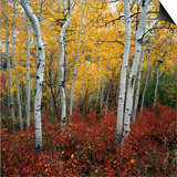 Aspen in autumn at Uinta National Forest Posters by Micha Pawlitzki