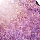 Beautiful Tender Cherry Tree Blossom in Morning Purple Sun Light Posters by Anna Omelchenko
