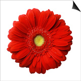 Red Gerbera Daisy Art