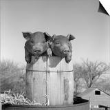 1950s Two Duroc Pigs Piglets in a Nail Keg Barrel Farm Barn in Background Pork Barrel Cute Prints by B. Taylor
