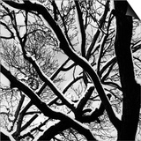 Snow Covered Tree Branches Prints by Brett Weston