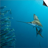 Sailfish feeding on Brazilian sardines Prints by Stuart Westmorland