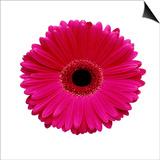 Hot Pink Gerbera Daisy Posters