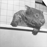 Wombat in a Bathtub Prints