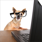 A Chihuahua Surfing The Internet On A Laptop Posters by  graphicphoto