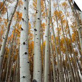 Grove of Coloful Aspens in Fall Art by Micha Pawlitzki