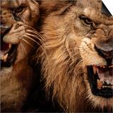 Close-Up Shot Of Two Roaring Lion Prints by NejroN Photo
