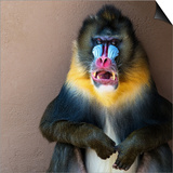 Picture Of A Colourful Displeased Mandrill Poster by NejroN Photo