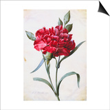 A Dark Red Carnation Prints by Pierre-Joseph Redouté