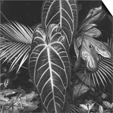 Leaves, Hilo, 1979 Poster by Brett Weston