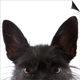 Scottish terrier Poster by Michael Kloth