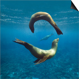 Sea Lions Playing Underwater Posters