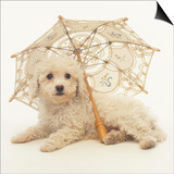 Bichon Frise and Parasol Prints by Pat Doyle