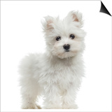 Maltese Puppy Standing, Looking At The Camera, 2 Months Old, Isolated On White Prints by  Life on White