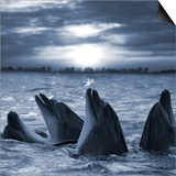 The Bottle-Nosed Dolphins In Sunset Light Prints by  sad444
