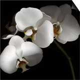 White Phalaenopsis Orchids Poster by Michael Freeman