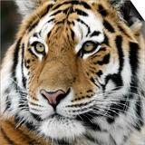 Tiger Prints by  nialat