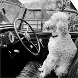 View of a Car Showing a Poodle, Probably Called Baker White, Sitting in the Driver's Seat Poster by John Gay