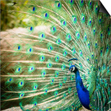 Splendid Peacock with Feathers Out (Pavo Cristatus) Poster by  l i g h t p o e t