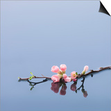 Cherry blossoms on water Prints by John Smith