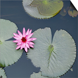 Water Lily on Hoan Kiem Lake, Hanoi, Vietnam Prints by  JoSon