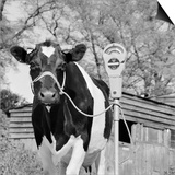 A Freisian Cow Tethered to a Mobile Parking Meter in a Farmyard Prints by John Gay